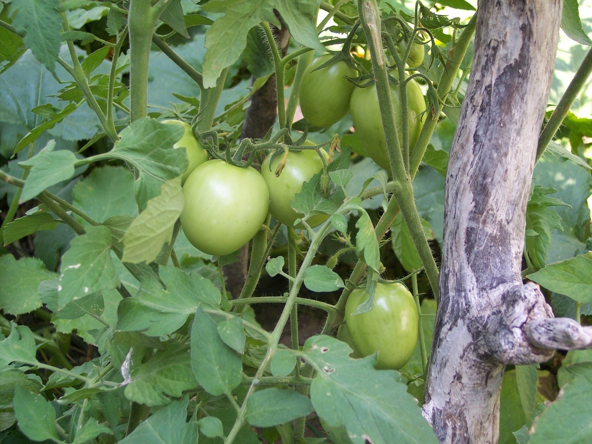 Day 127 Tomatoes